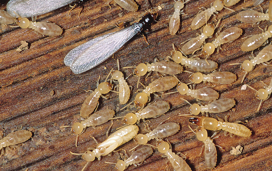 Termites and ICFs